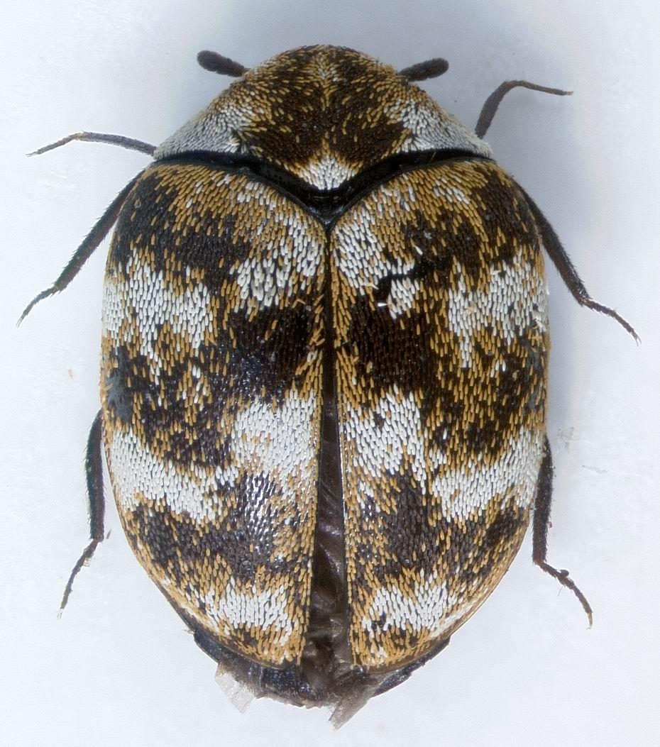 Aepma Pest Profile Varied Carpet Beetles