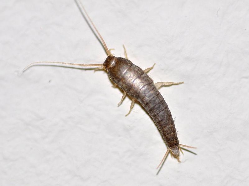 AEPMA Pest profile: Silverfish